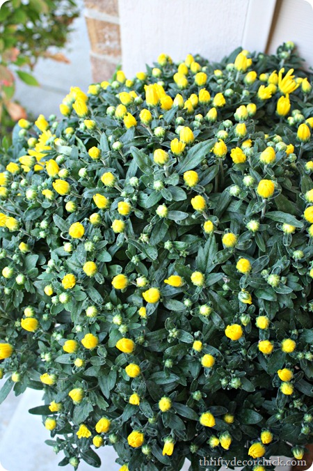 yellow mums fall