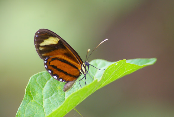 Ithomiinae : Hypothyris ninonia latefasciata HAENSCH, 1909 (?). Saut Athanase (Guyane). 21 novembre 2011. Photo : J.-M. Gayman
