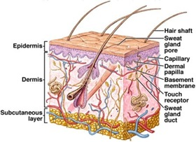 sweat pore diagram difference between sweat and sebum - md