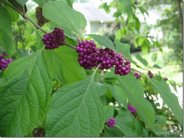 Beautyberry2