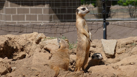 Fauna Africa de Sud: suricate