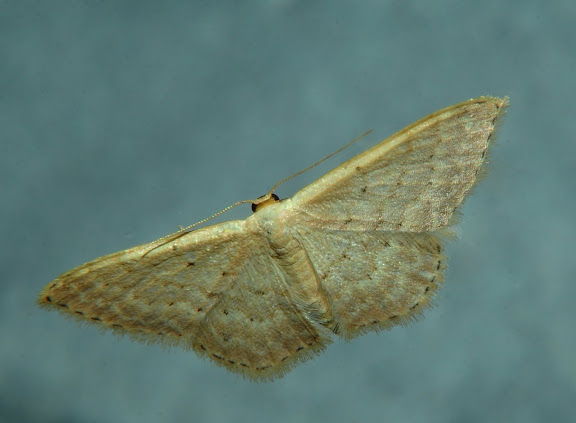 Geometridae : Sterrhinae : Idaea halmaea MEYRICK, 1888. Umina Beach (New South Wales, Australie), 24 mars 2011. Photo : Barbara Kedzierski
