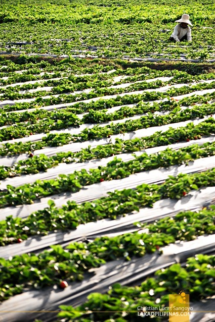Rows of Strawberries at La Trinidad's Strawberry Farm