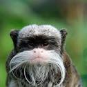 Emperor Tamarin Monkey