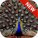Peacocks Wallpapers