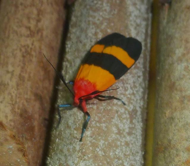 Arctiinae : Isorropus tricolor BUTLER, 1880, endémique. Parc d'Andasibe-Mantadia (Madagascar), 28 décembre 2013. Photo : T. Laugier
