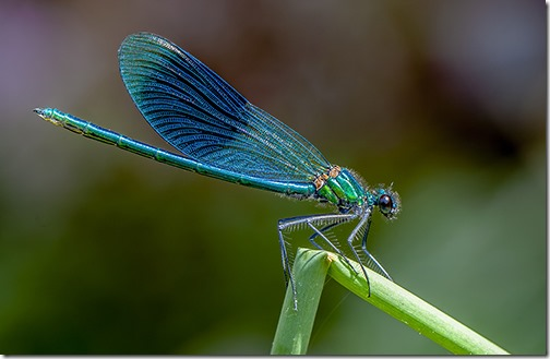DAMSELFLY by ANTHONY WRIGHT P1
