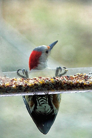 goldfronted woodpecker