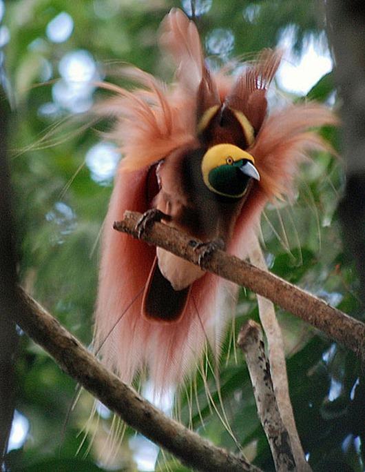 Тим Ламан: Тайны райских птиц 5940079380_bbc9102e02_z