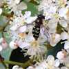 Hoverfly Female