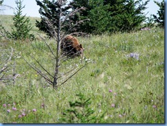 1319 Alberta Red Rock Parkway - Waterton Lakes National Park - a grizzly bear