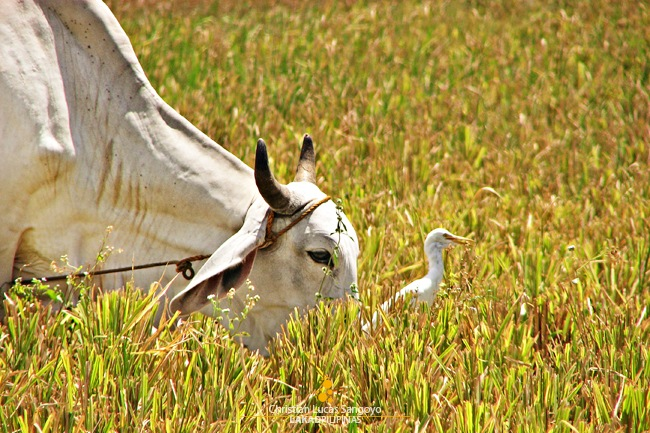 A Cow and an Egret Playing at the Ricefield in San Rafael, Bulacan