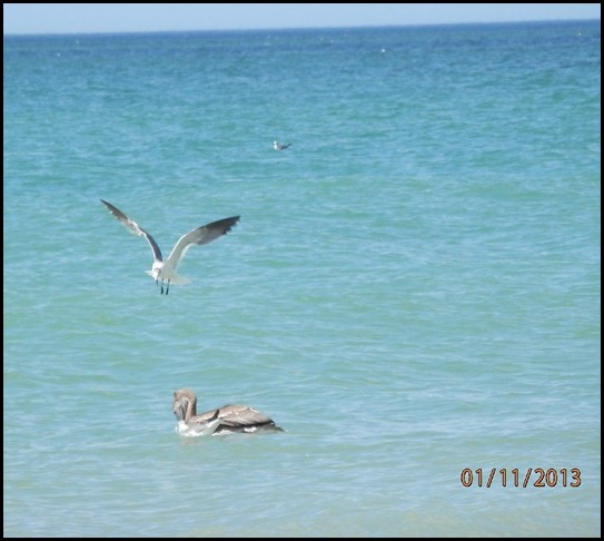 Pelican gets a fish, Sea Gull watches on above him.