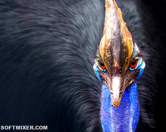 Cassowary_head_frontal