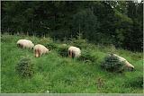Schafe zum Aufforsten