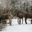 Curleys_donkeys_.jpg