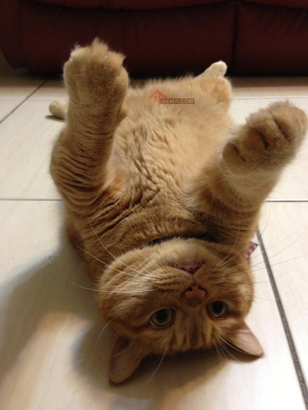 橘子貓躺著
