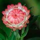 Strawflower, siempreviva