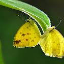 Coliadinae 黃粉蝶