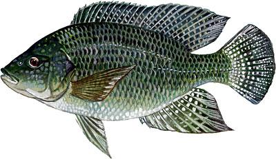 câu cá rô phi