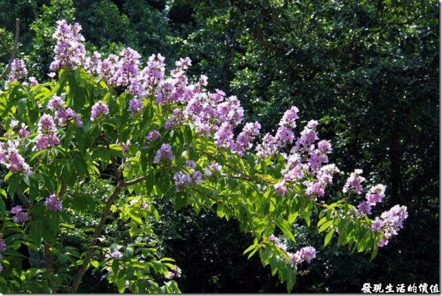 大花紫薇於台南公園拍攝