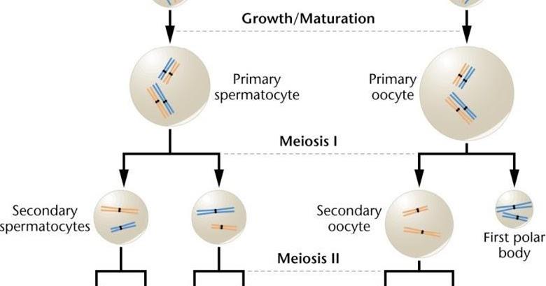 spermatogenesis and oogenesis essay