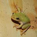Squirrel Tree Frog