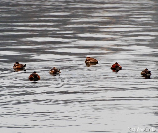 2. ruddy ducks-kab