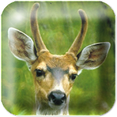 Deer Live Wallpaper ★