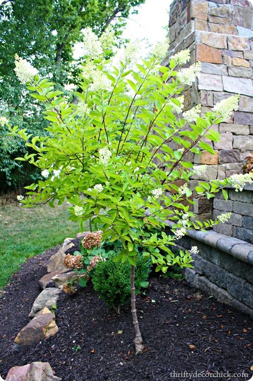 Pee Gee hydrangea blooming