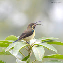 Purple Rumped Sunbird Female