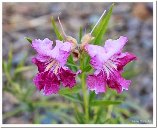 131004_RBG_Fall_Sale_Chilopsis-linearis_01