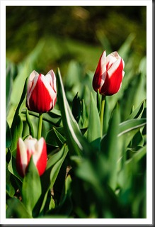 Early tulips at Brookside Gardens