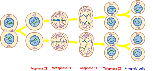what is meiosis? stages of meiosis i and ii ~ biology exams 4 u Diagram of Prophase Metaphase Anaphase Telophase Cytokenisis