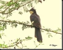 011 Pied Cuckoo ( Chatak )