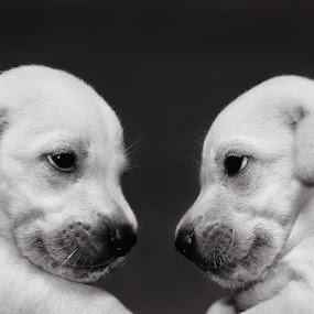 Boni VS Dogie by Benaya Agung - Animals - Dogs Puppies