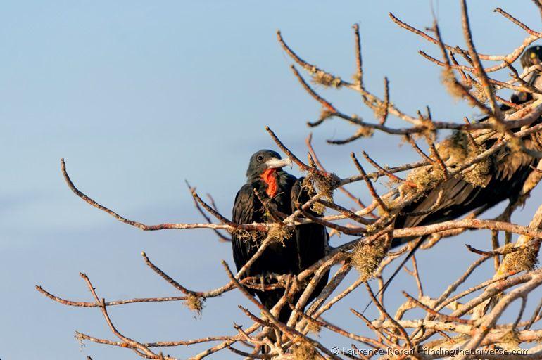 male frigate bird roosting in tree