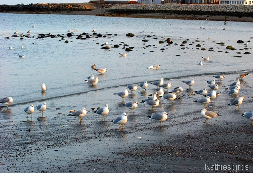 9. more gulls-kab