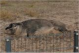 Schwalbenbauch-Mangalitza-Wollschwein (pennt auch)