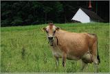 Kuh, im Hintergrund Lourdeskapelle