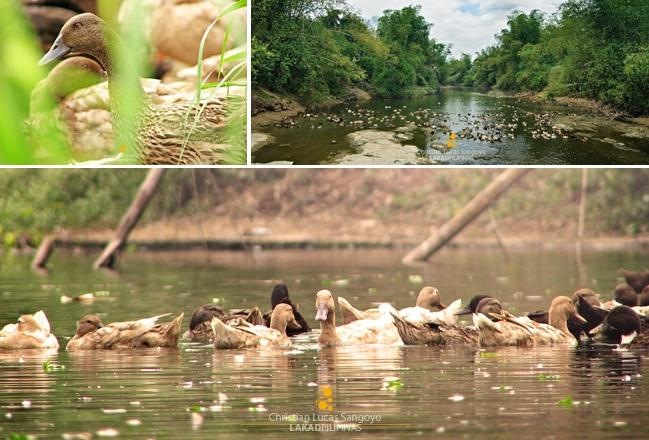 Ducks Everywhere at San Rafael, Bulacan