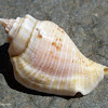 Humpbacked Conch Shell