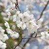 Somei-yoshino Cherry