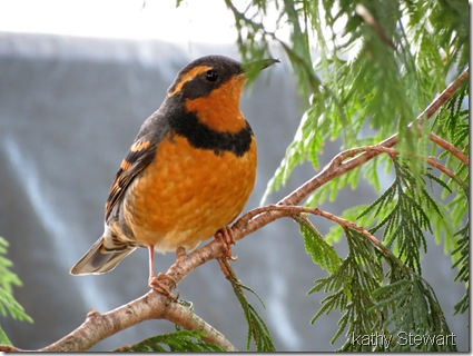 Varied Thrush with crossed bill tip