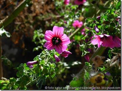 0614 Tamadaba-Berrazales(Malva arbórea)