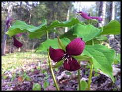 purple trillium from internet