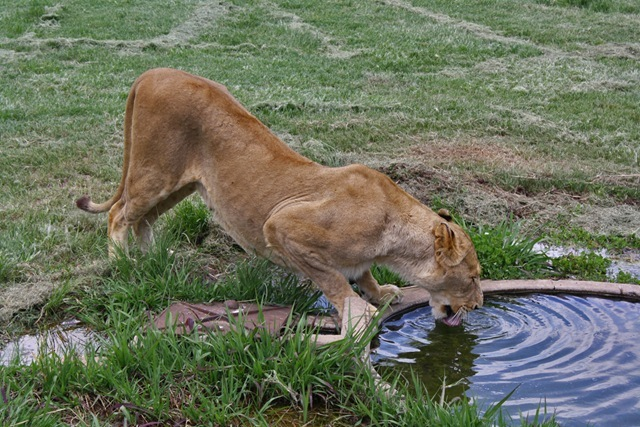 Lioness at Waterhole, Lion Park Johannesburg