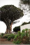 der gigantische Drachenbaum