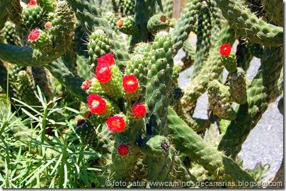 1277 Artenara-Acusa(Cactus de Méjico)