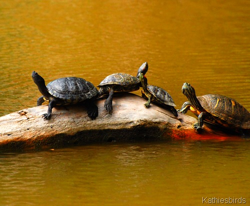 14. turtles-kab